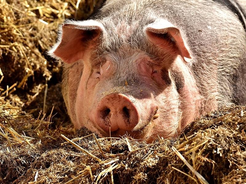 Matanza tradicional del cerdo
